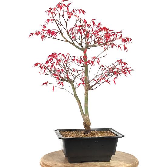 ERABLE rouge du Japon 'deshojo' 15-16 ans 43 cm de hauteur   B26