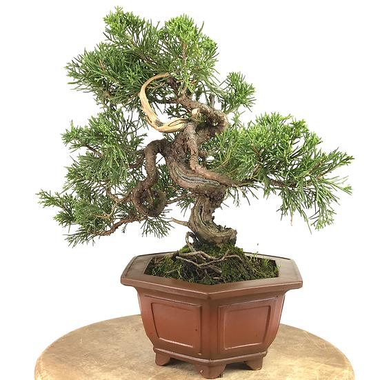 JUNIPERUS Chinensis Itoigawa de +16 ans 31 cm de hauteur   C48