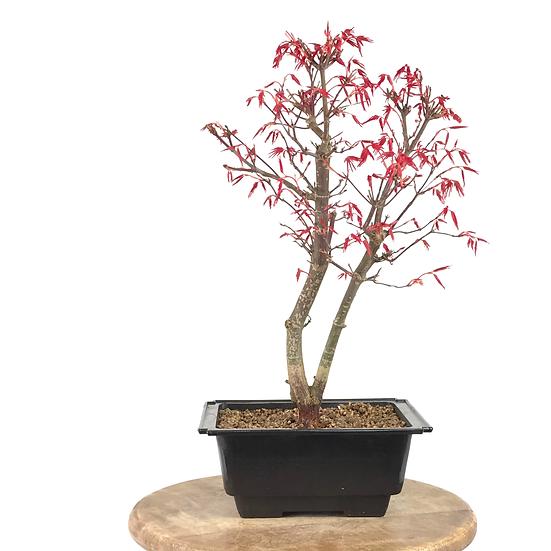 ERABLE rouge du Japon 'deshojo' 12-14 ans 38 cm de hauteur   B63