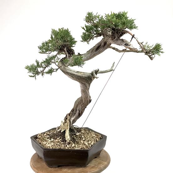 JUNIPERUS Sabina de 52 cm de hauteur YAMADORI