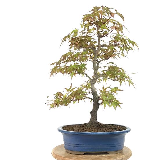 ERABLE Japonais Acer P. Yamamomijii de 17-18 ans 46 cm de hauteur  B83