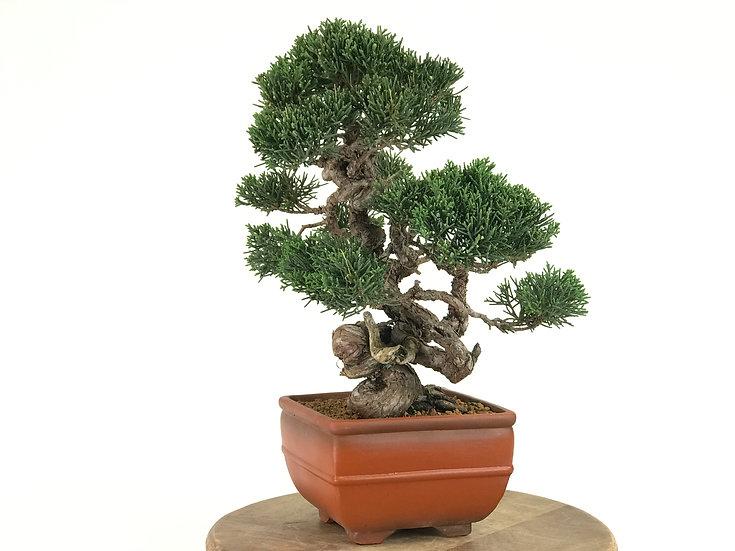 JUNIPERUS Chinensis de +20 ans 36 cm de hauteur