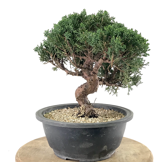 JUNIPERUS Chinensis Itoigawa Pré Bonsai 12-13 ans 28 cm de hauteur C13