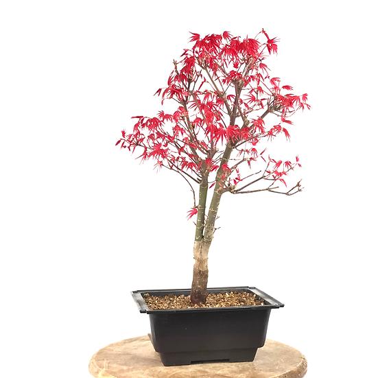 ERABLE rouge du Japon 'deshojo' 12-14 ans 41 cm de hauteur   A35