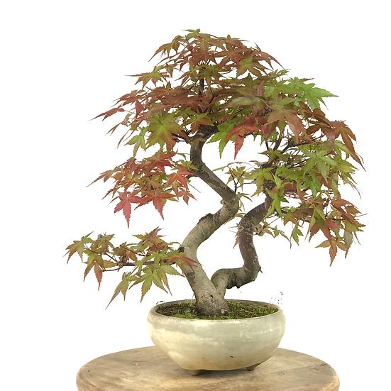 ERABLE rouge du Japon 'deshojo' +20 ans 36 cm de hauteur    A23