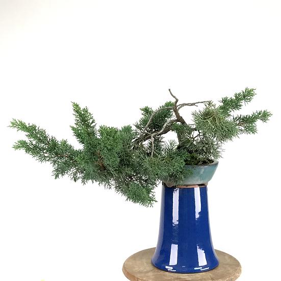 JUNIPERUS Chinensis de +15 ans 25 cm de hauteur   C25