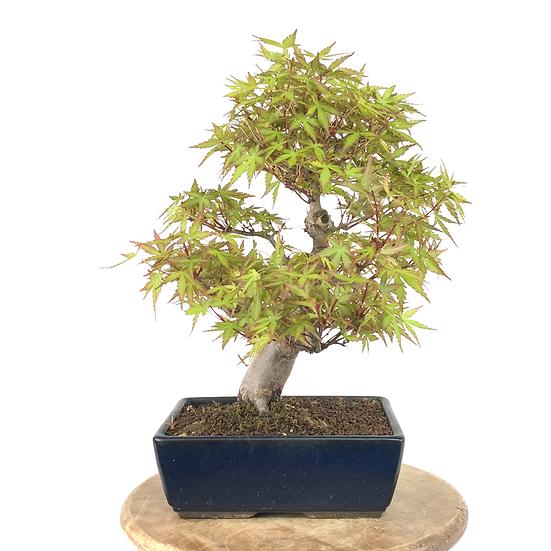 ERABLE Japonais Acer P. Yamamomijii de +20 ans 35 cm de hauteur   A56