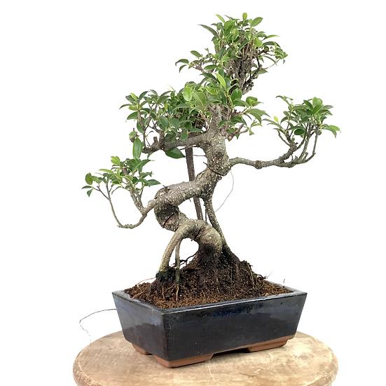 FICUS Retusa de 11-12 ans 36 cm de hauteur Roots   A69