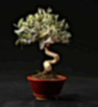 olivier-paris-bonsai