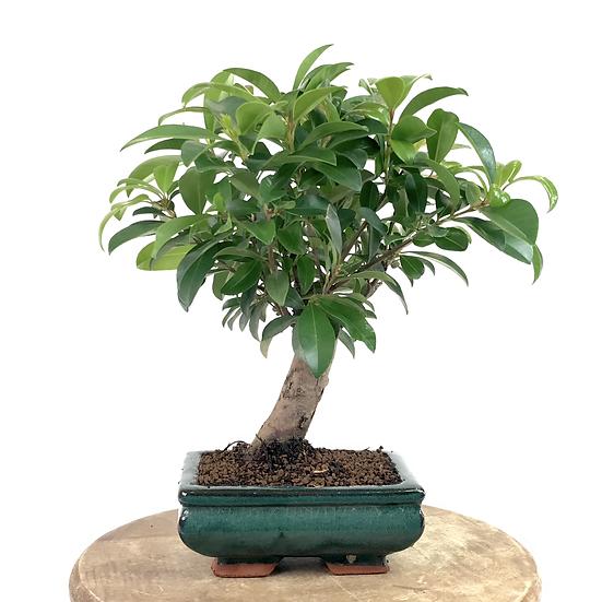 EUGENIA Myrtifolia 5-6 ans 29 cm de hauteur