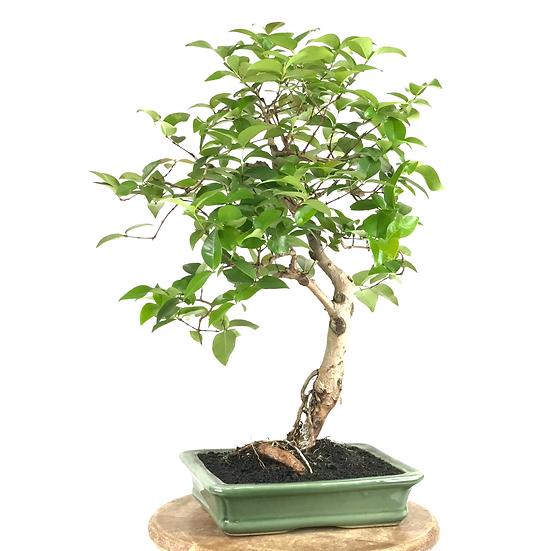 EUGENIA cauliflora 12-14 ans 47 cm de hauteur   A16