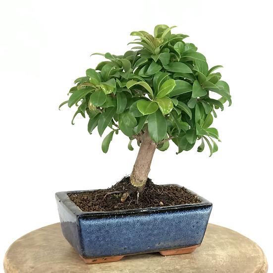EUGENIA Myrtifolia 5-6 ans 24 cm de hauteur   B40