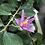 Thumbnail: GREWIA Occidentalis 12 ans 33 cm de hauteur