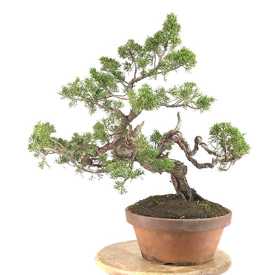 JUNIPERUS Chinensis de +18 ans 47 cm de hauteur   D21