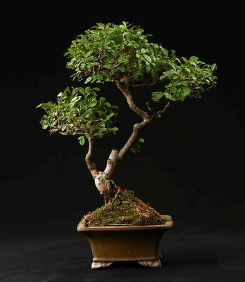 orme-paris-bonsai
