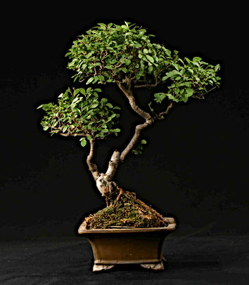 orme-paris-bonsai