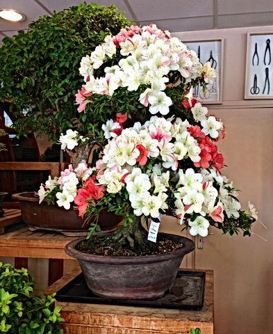 azale-paris-bonsai