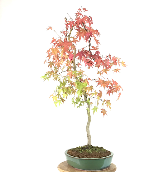 ERABLE Japonais Acer P. Yamamomijii de 15 ans 76 cm de hauteur    E15