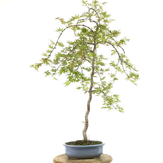 ERABLE Japonais Acer P. Yamamomijii de 15 ans 71 cm de hauteur   B14