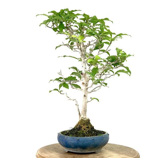 DYOSPYROS Rhombifolia Kaki Plaqueminier 12 ans 40 cm de hauteur