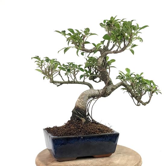 FICUS Retusa de 11-12 ans 37 cm de hauteur Roots  A51