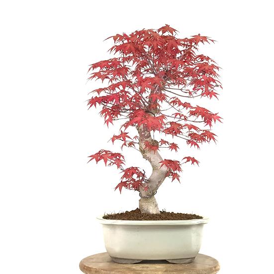 ERABLE rouge du Japon 'deshojo' +20 ans de 48 cm de hauteur   C41
