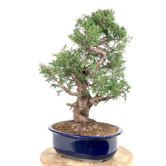 JUNIPERUS Chinensis Itoigawa Pré Bonsai +15 ans 44 cm de hauteur.  A20