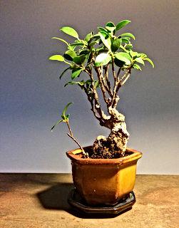ficus-paris-bonsai