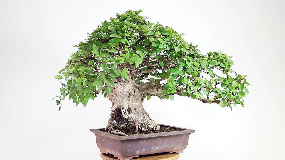 CHARME de Corée 50-60 ans 55 cm de hauteur Japon