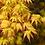Thumbnail: ERABLE du Japon Orangé 'Katsura' 17-18 ans de 47 cm de hauteur   C06