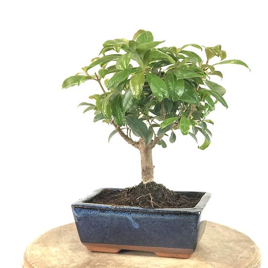 EUGENIA Myrtifolia 5-6 ans 26 cm de hauteur   A05