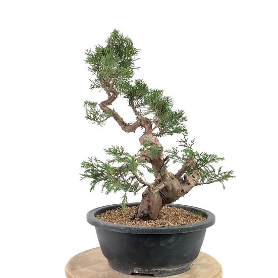 JUNIPERUS Chinensis Itoigawa Pré Bonsai +15 ans 44 cm de hauteur