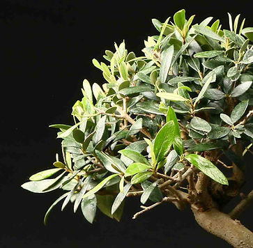 paris-bonsai-olivier