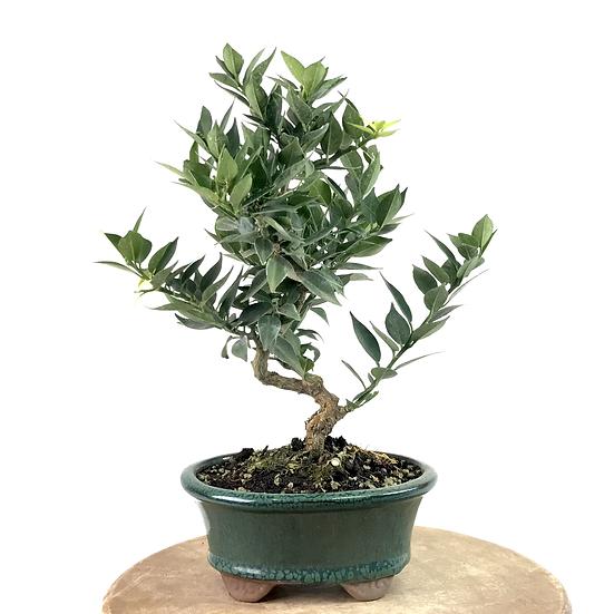 MANDARINIER d'ornement CITRUS Myrtifolia 9 à 10 ans 31 cm de hauteur  P59