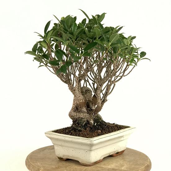 FICUS Retusa de 9 ans 32 cm de hauteur Roots   C33
