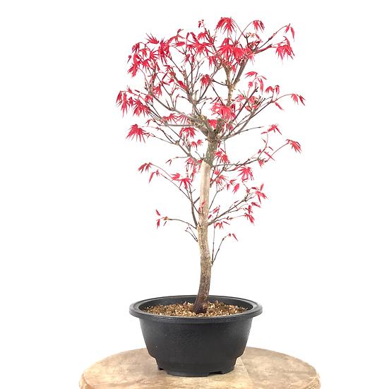 ERABLE rouge du Japon 'deshojo' 10-11 ans 41 cm de hauteur   B47