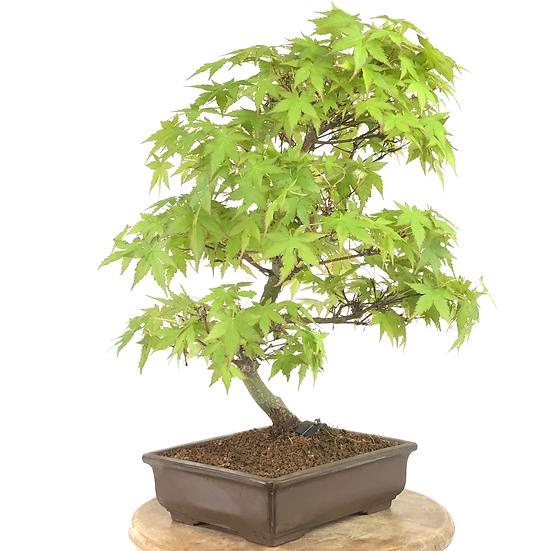 ERABLE Japonais Acer P. Yamamomijii de +17 ans 41 cm de hauteur   C08