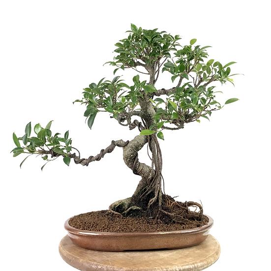 FICUS Retusa de 13-14 ans 36 cm de hauteur Roots Céramique Xyhing