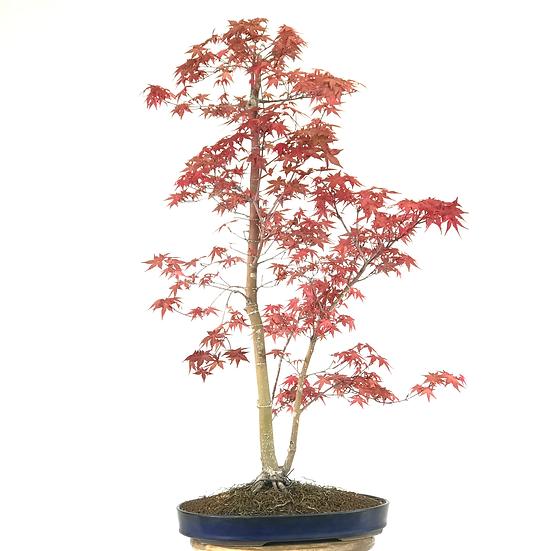 ERABLE rouge du Japon 'deshojo' +20 ans de 80 cm de hauteur   C05
