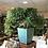 Thumbnail: BUIS de Chine Spécimen de collection à découvrir au magasin 1 m de hauteur