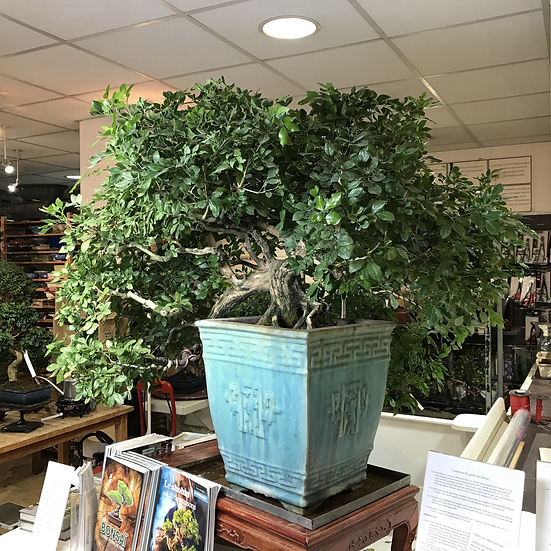 BUIS de Chine Spécimen de collection à découvrir au magasin 1 m de hauteur