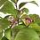 Thumbnail: ARBRE à BONBONS CALLICARPA Japonica +15 ans 34 cm de hauteur   C30