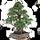 Thumbnail: FICUS Retusa de 40 ans 93 cm de hauteur