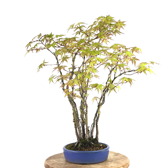 ERABLE Japonais Acer P. Yamamomijii de 10-14 ans 49 cm de hauteur Forêt   C12