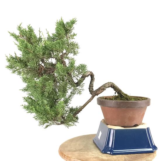 JUNIPERUS Chinensis Itoigawa Pré Bonsai 13-14 ans 37 cm de hauteur   A18