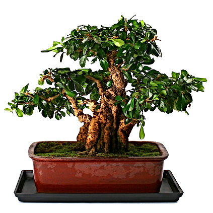 carmona-paris-bonsai