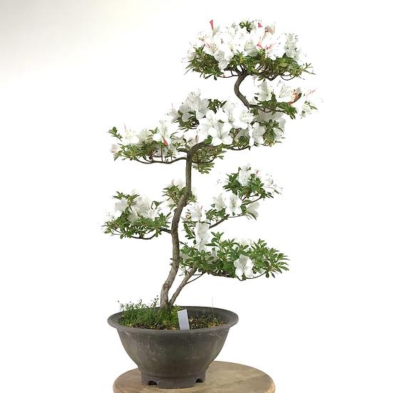 AZALEE Satsuki de +16 ans 60 cm de hauteur   C01