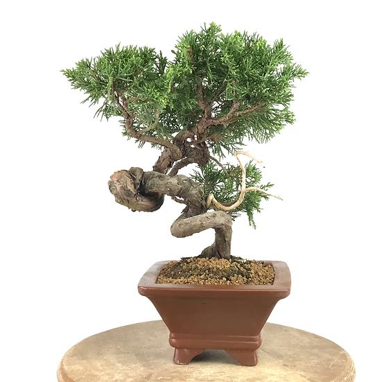 JUNIPERUS Chinensis Itoigawa de +16 ans 30 cm de hauteur   A72