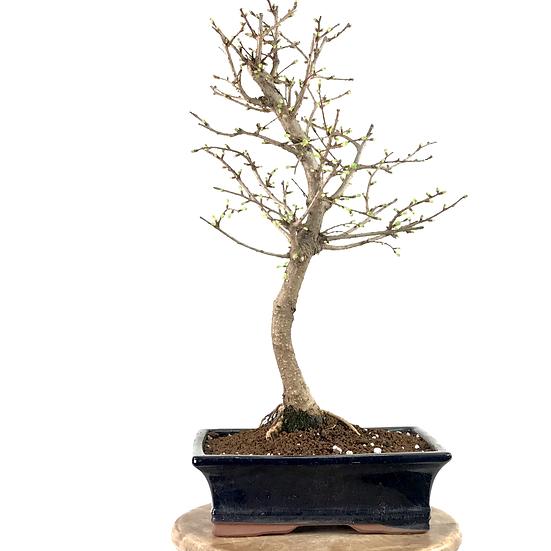 PSEUDOLARIX amabilis MELEZE Doré 13 ans de 47 cm de hauteur   B43