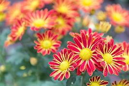 bigstock-Flower-In-Garden-At-Sunny-Summ-
